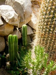 Cactus San Pedros