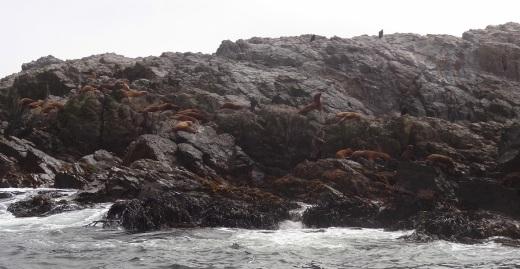 Lobos marinos 2