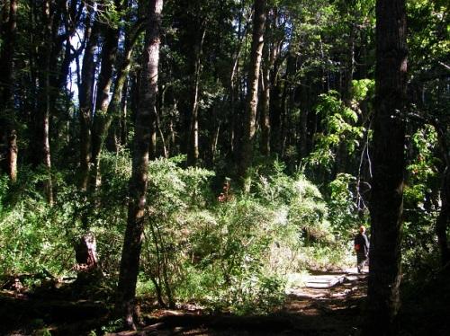 inmenso bosque huilohuilo