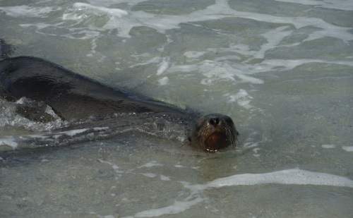 lobo de mar en san cristobal