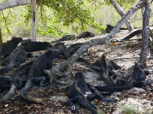 iguanas de mar